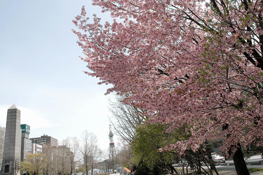 公園で咲く桜